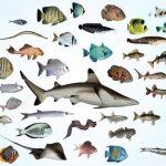 Balıklar Özellikleri, Yaşamı, Beslenmesi, Üremesi ve Türleri