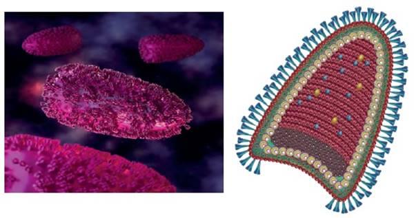 kuduz, kuduz virüsü, kuduz hastalığı