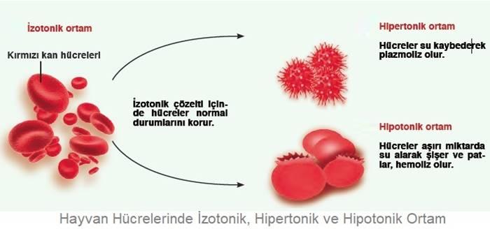 Hayvan hücresi, İzotonik Ortam, Hipertonik Ortam, Hipotonik Ortam, palzmoliz, hemoliz