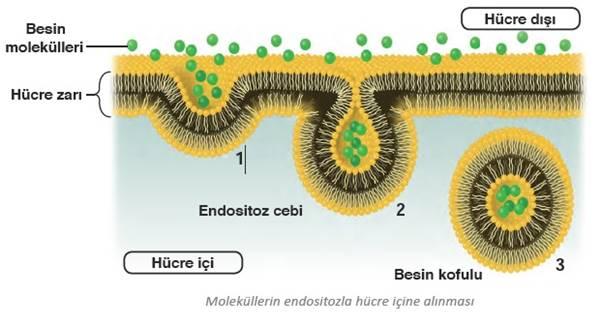 endositoz, Fagositoz, Pinositoz, büyük moleküllerin hücreye alınması