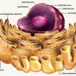 Endoplazmik Retikulum Nedir? Görevleri ve Özellikleri