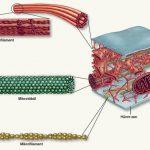 Hücre İskeleti Nedir? Görevleri ve Elemanları (Mikrofilament, Arafilament, Mikrotübül)