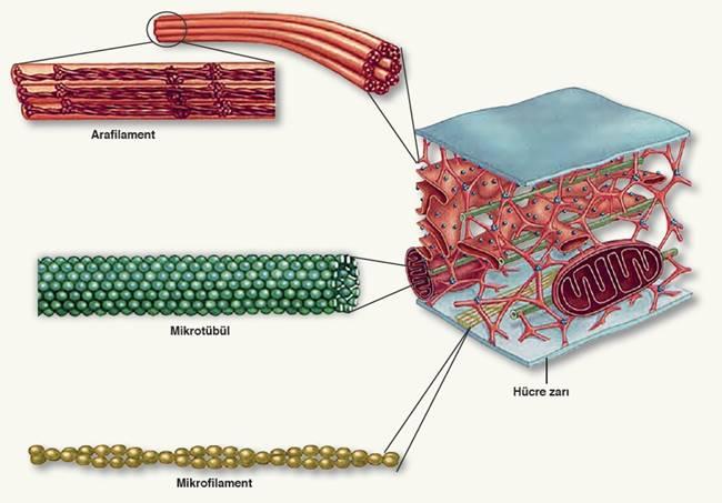 Hücre İskeleti (Mikrofilament, Arafilament, Mikrotübül)