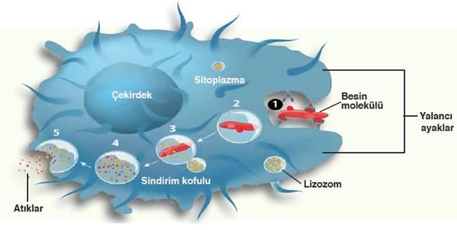 lizozom, lizozom enzimleri,
